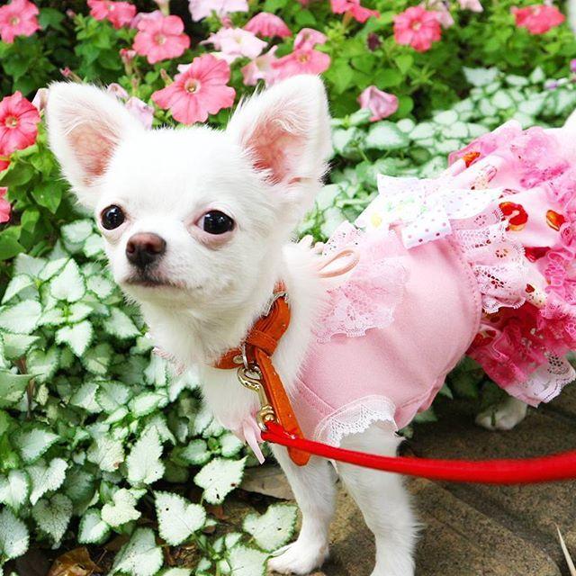 はかせ💟 まさかの女子力レベルアップか❔  #🍓#イチゴ #🐶 #苺 #Chihuahua #チワワ #ロングコートチワワ #わんこ #WAN #犬 #愛犬 #Dog #癒し #キュート #ラブリー #散歩 #犬服 #かめの #しらす #天使のASTIべべ子 #はかせ #ピンク #pink