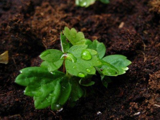 Выращивание клубники из семян.  Посев семян клубники в подготовленные емкости проводят в конце марта-начале апреля. Некоторые садоводы проводят посев в феврале, но в этом случае, после всходов сеянцам необходимо досвечивание для обеспечения долготы дня 15-16 часов. Фото: © Tanja