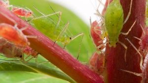 Im Winter sind Zimmerpflanzen besonders anfällig für Blattläuse. (Quelle: Thinkstock by Getty-Images)
