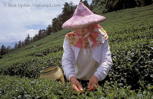 A tea-picker at work on a highland tea plantation in Taiwan with her conical hat and wicker basket, taken by the photographer Nick Upton of Box, Wiltshire, May 2003 Copyright Nick Upton #Creative #Wiltshire