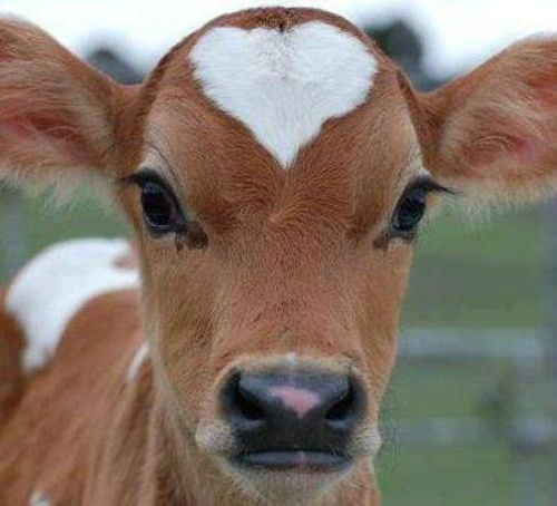 this calf wears his heart on his head.