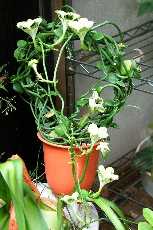 Ceropegia sandersonii | Plants and Flowers | Pinterest