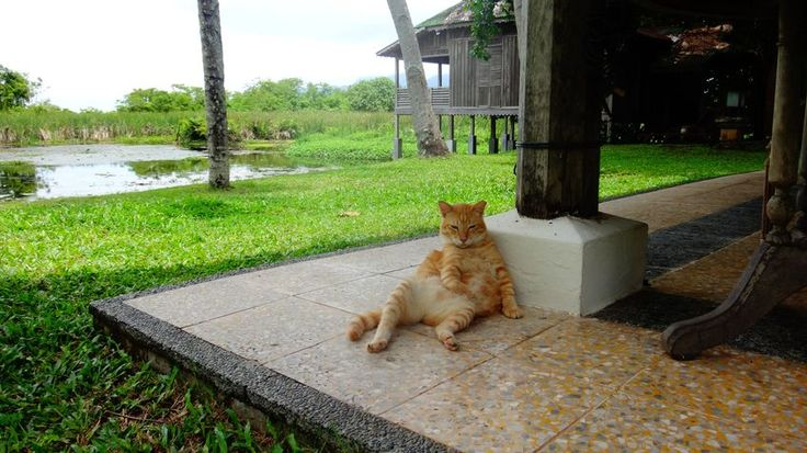 Pisica rezemata, Bon Ton, Langkawi
