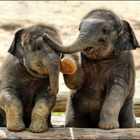 love these adorable huggable babies :-) if any species can begin to teach us compassion and how to behave in this world, it might just be elephants