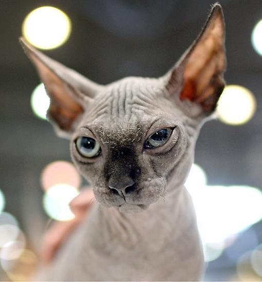 Die Sphinx-Katze (auch Sphynx) ist eine fast haarlose Katzenrasse. Sie wurde aus mutierten Katzen weitergezüchtet.