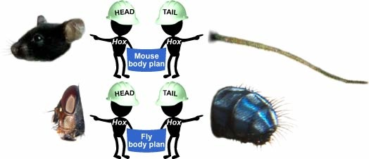 Hox genes lay out general body forms