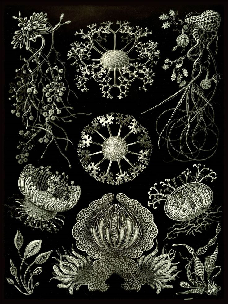 Ernst Haeckel (1834-1919 German) • Nature Art Plankton Sea Biology
