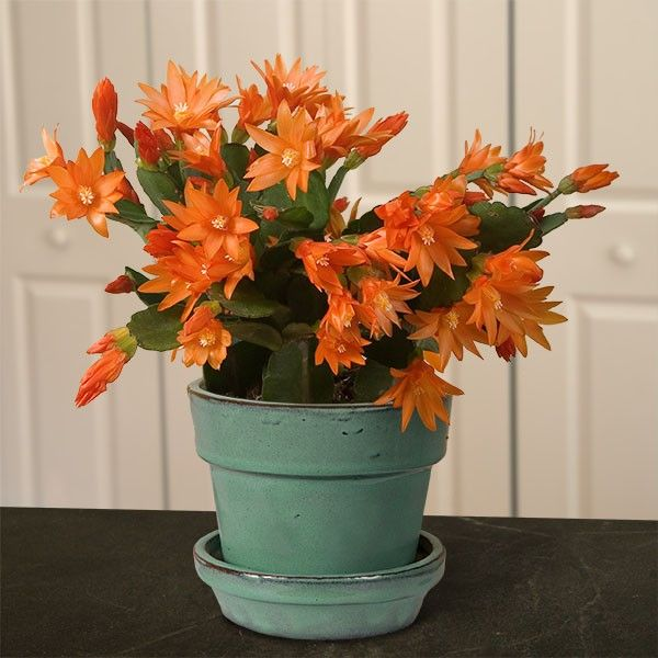 Orange Easter Cactus 'Colomba' (Rhipsalidopsis gaertneri)