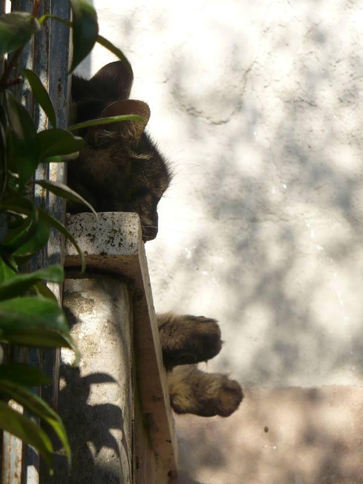 FUFI:gatto delle foreste norvegesi foto di walter rapone.
