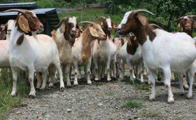 Cara Beternak Kambing Bagi Pemula - Ternak Pertama