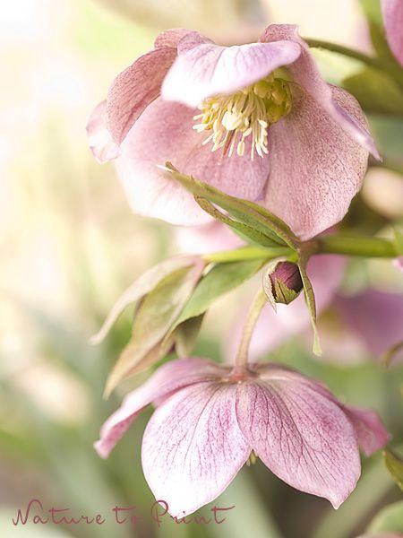 Über Lenzrosen und warum sie in keinem Garten fehlen sollten. Pflege, Tipps und Tricks zu Helleborus Orientalis.