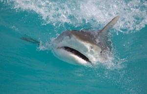 Tiger shark at the surface