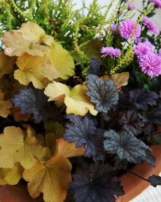 For the balcony - Alunrot, Heuchera 'Caramel' och rödbladig H. 'Frosted Violet'