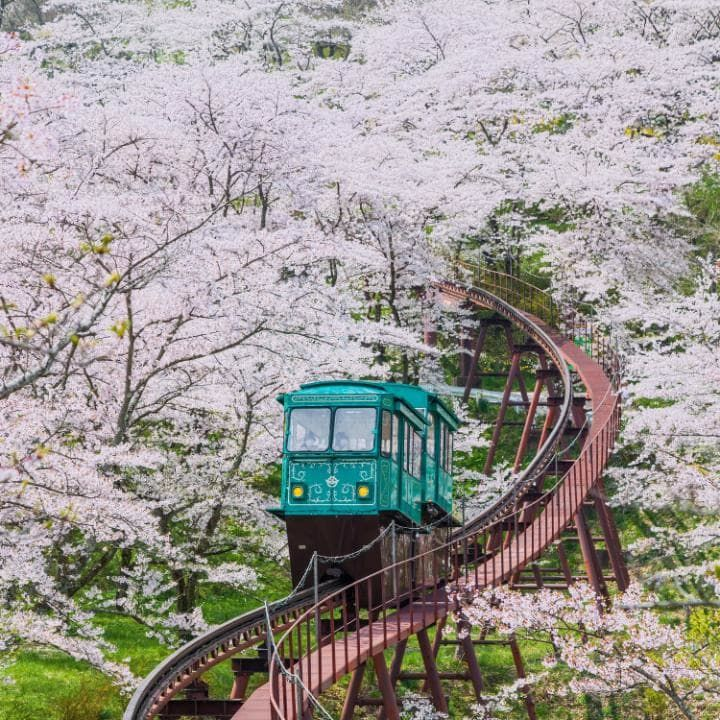 A cherry blossom-lined slope car track in Funaoka Castle Park in Sendai, Japan    InteleTravel Independent Travel  candithomas.inteletravel.com  candi6517@gmail.com