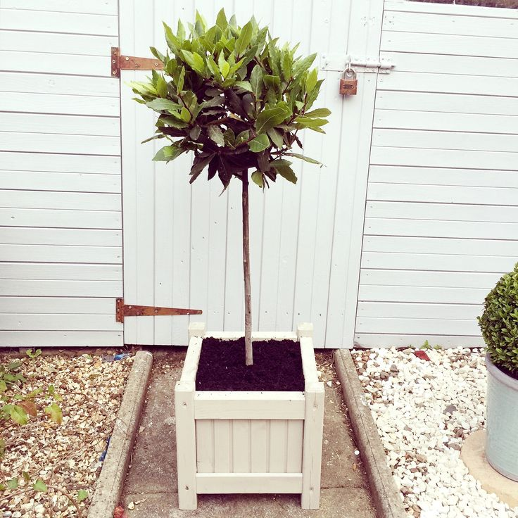 bay tree in wooden planter we painted using Cuprinol's 'Muted Clay'