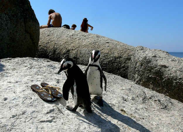 The penguins have been known to share beach towels and dart between legs while visitors take a dip in the ocean.