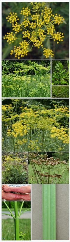 Wild Parsnip (roots editable) BUT the plant produces a compound in its leaves, stems, flowers and fruits that causes intense, localized burning, rash, severe blistering from the sap and discoloration on contact with the skin on sunny days. This reaction is not brought on by contact with the foliage of the plant, only by contact with the sap. BE CAREFUL!!