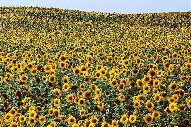 Sunflower field. | #exploremb