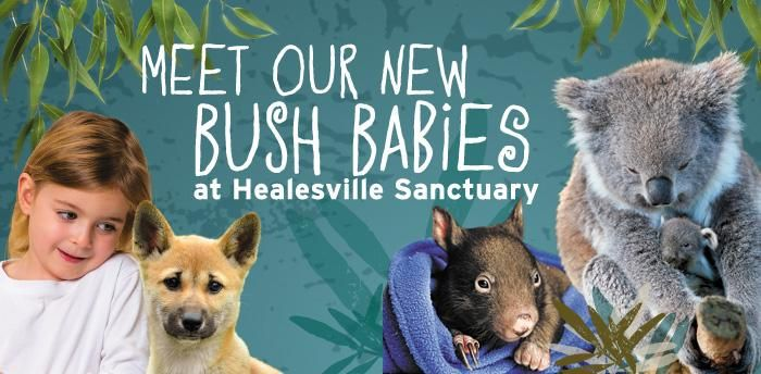 This spring come and meet our new baby animals at Healesville Sanctuary!