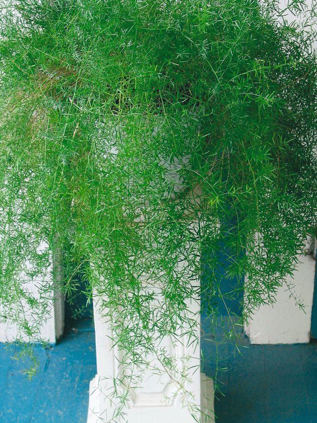 Asparagus Fern - Asparagus densiflorus 'Sprengeri' XX