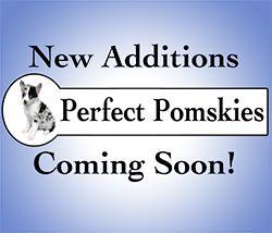 pomsky pups for sale, buy pomskies, best pomsky breeders, cute dog puppy, the cutest dog breed, pomeranian husky for sale, pomeranian husky breeder, teacup