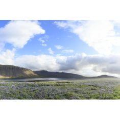 Fototapete von der Landschaft in Island mit einem Beet voller Alaska Lupinien, Island, Vulkaninsel, Fotograf: Z. Langlotz #Fototapete #merianbildservice #Wandgestaltung #island #Vulkaninsel #wohnideen #landschaftsfotografie #fotografie #lupinien #homedecor #homedesign #diy #natur #lupinien #alaska #blumenbeet