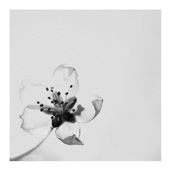 Cherry Blossom In Black And White Tattoos With My: 1000+ Ideas About Cherry Blossom Tattoos On Pinterest