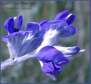 Prairie Wildflowers: Silverleaf psoralea. Copyright © Shelley Banks, all rights reserved.