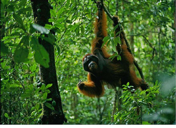 A wild adult male Bornean Orangutan hangs from a small tree while feeding on Diospyros fruits.