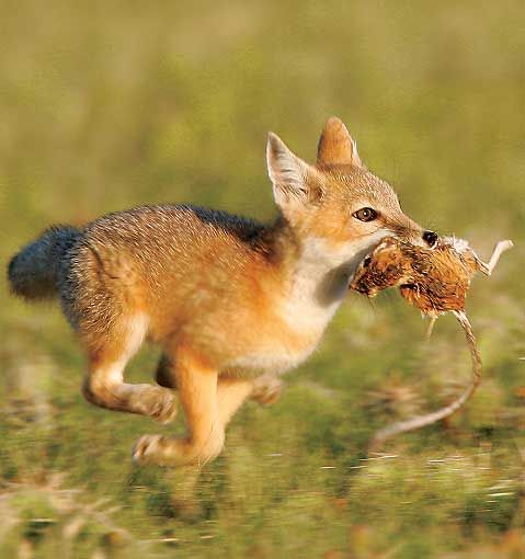 A young swift fox makes a dash for its den, a kangaroo rat clenched tightly in its teeth.