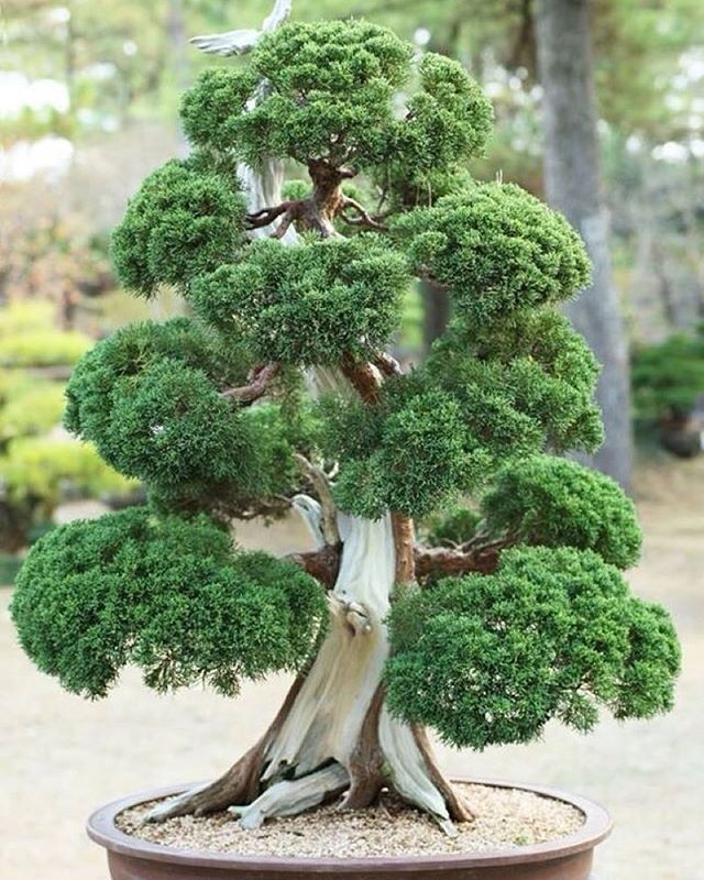 Pine bonsai or at least looks like