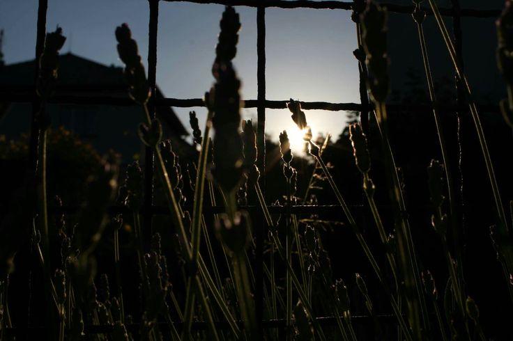 Levander blue ❤❤❤ #Smelllikelevander #sunisgoingtosleep