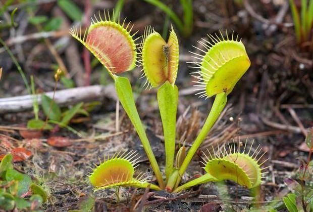 RALEIGH: Poaching Venus flytraps may become a felony in NC | Local News | Charlotte Observer