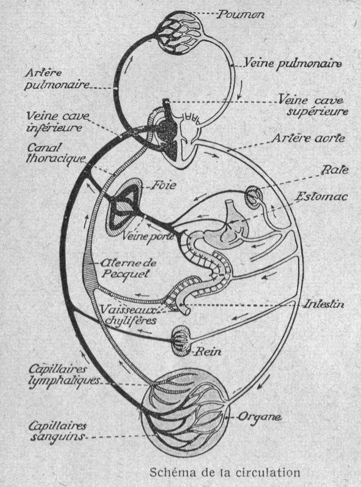 Dessins anatomie-physiologie : Image (107) - Schema de la circulation sanguine chez l Homme.jpg