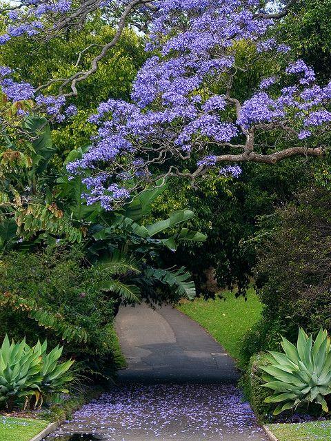 Blue Jacaranda (Jacaranda mimosifolia) at the Sydney Royal Botanical Gardens, Australia