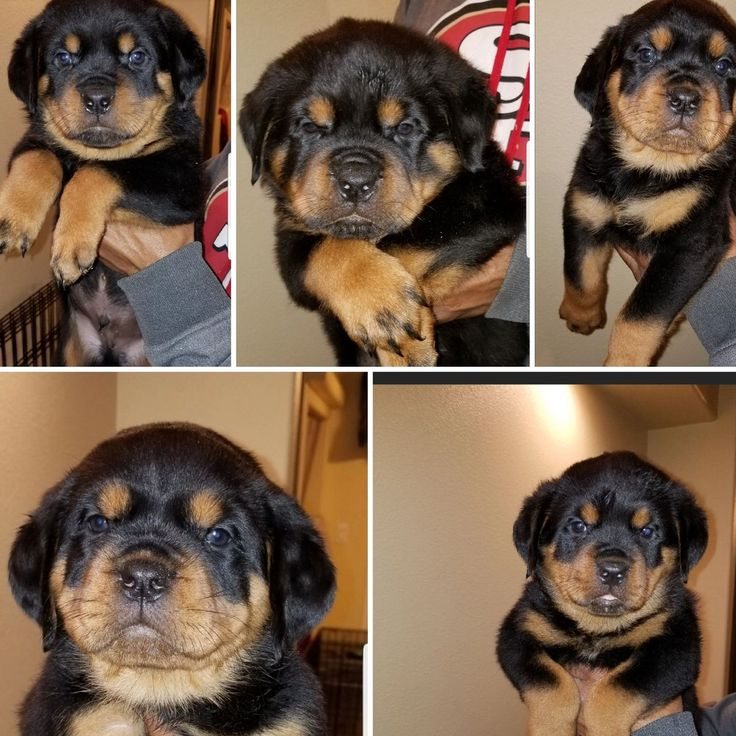 Litters Available Scotty's California Rottweiler Ranch