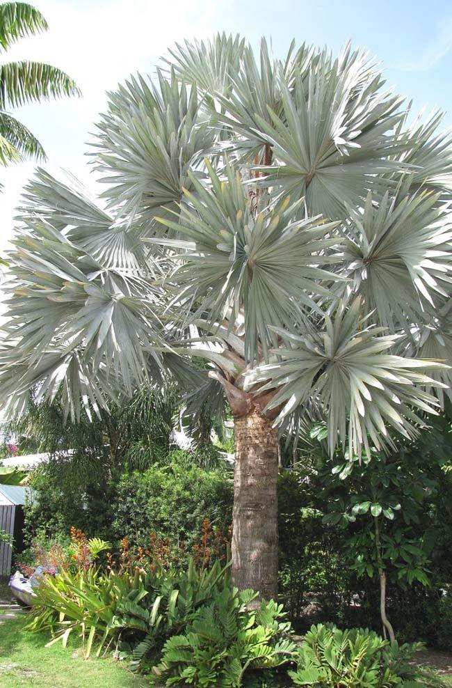 A exuberância de uma palmeira azul madura  0fc2b274042dd