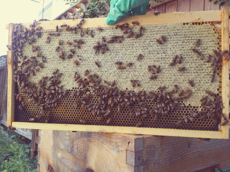 From Inside My Hive. Biological Control Of Wax Moths Including Fire Ants  And A Bacillus