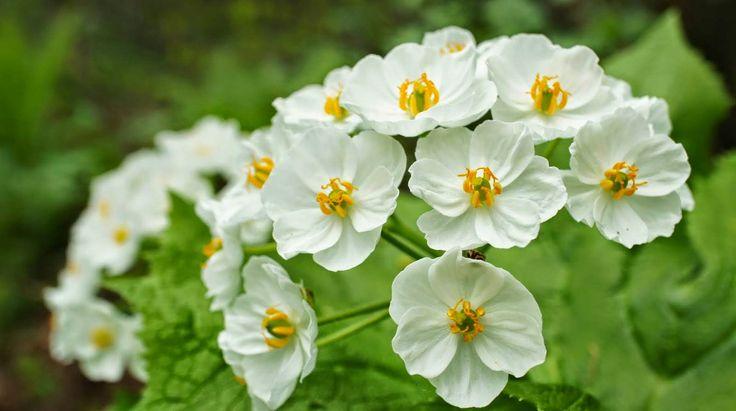 csontváz virág Flor pétala de vidro, Diphylleia grayi. Gênero botânico pertencente à família Berberidaceae, essa bela espécie de flor branca fica transparente quando entra em contato com a água.
