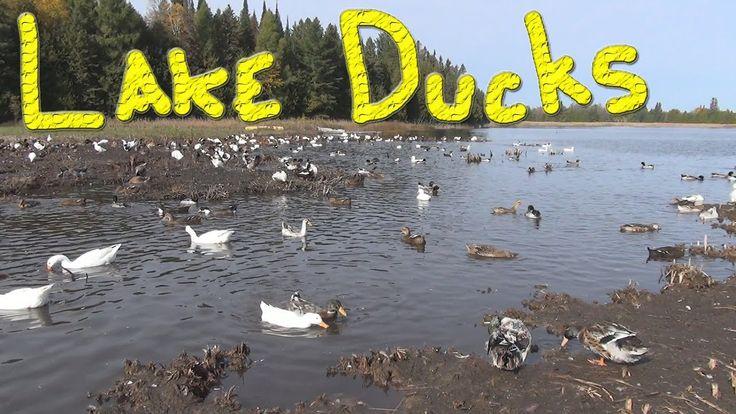 Ducks At The Lake (HD1080p 60fps)