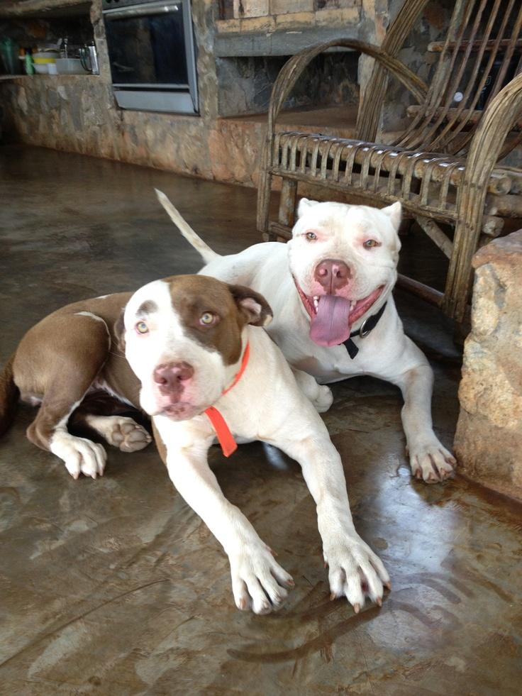 Pitbull couple