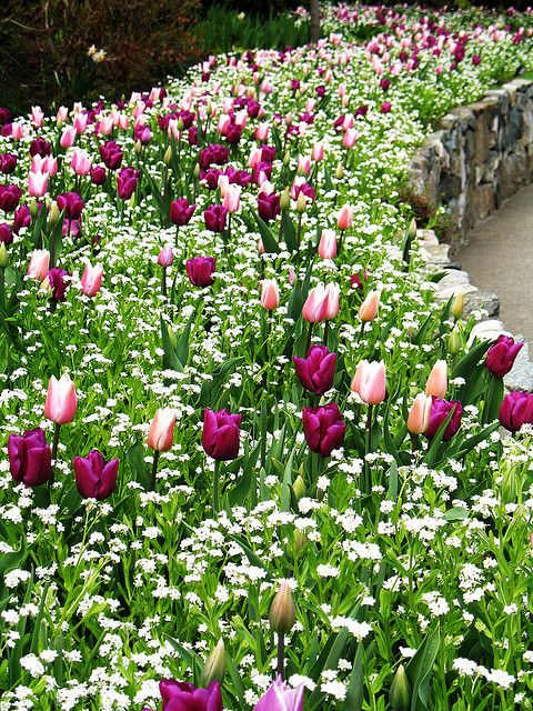 Pink and purple tulips at Butchart Gardens, Victoria, BC Photo by Beth Bryan