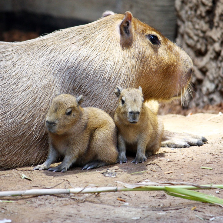 Baby Capybaras born in Cleveland Metroparks Zoo (click for more photos).  If you've ever seen a capybara, they look creepily like a giant, tailless rat-they ARE rodents, after all.