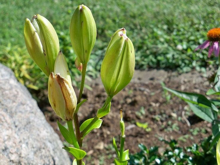 I have difficulty with Asian lilies.  Very good tips for dealing with these flowers....