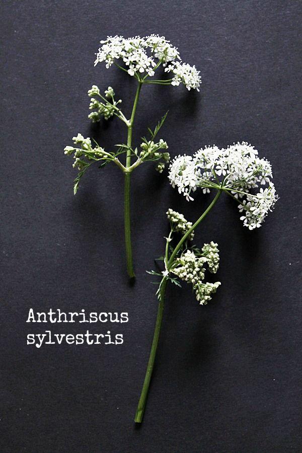Anthriscus sylvestris