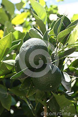Tangerine tree with immature fruit. Larnaca, Cyprus