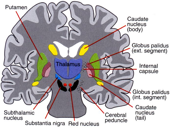 Image result for Subthalamic Nuclei