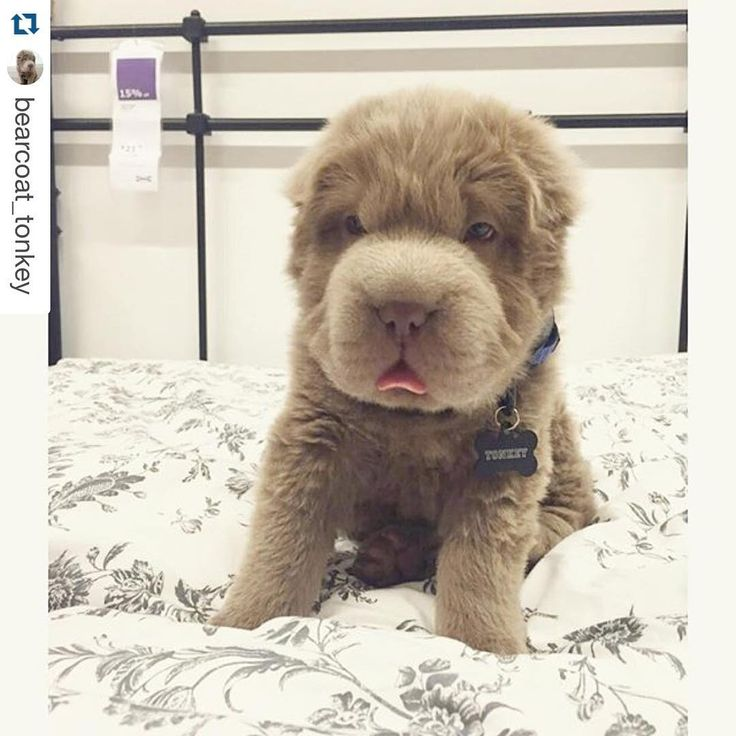 """Have you met the internet's newest fluffy sensation? (: @bearcoat_tonkey) Tag us with #puppiesforall and follow @DogVacay for a chance to be featured!…"""
