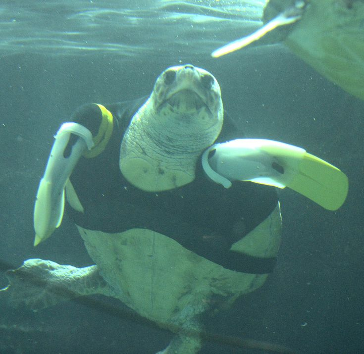 Amazing Prosthetic Flippers Help Disabled Loggerhead Turtle ...