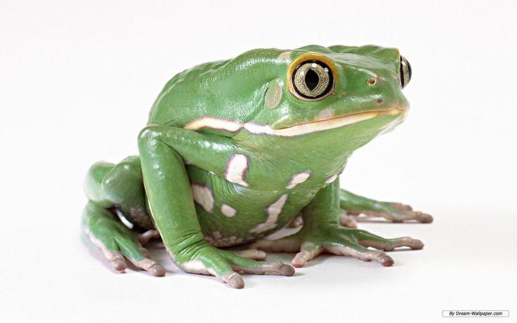 Frog-Wallpaper-frogs-7018056-1280-800.jpg 1,280×800 pixels